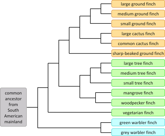 Evolution: Speciation: Primary, and secondary speciation Finch-phylogeny