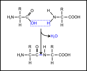 Peptide bonding of amino acids to form proteins and its origins Peptide-bond
